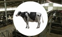 农业畜牧业奶牛饲养:工程动画演示、虚拟演示三维动画制作